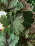 Geranium Nefertum Eau De Toilette 50 ml